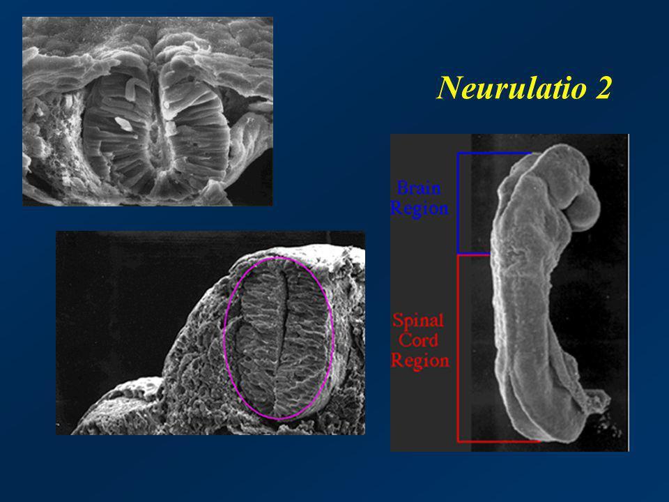 Neurulatio 2