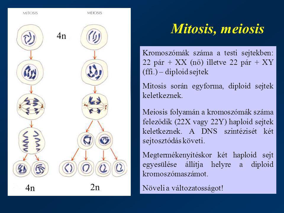 Mitosis, meiosis Kromoszómák száma a testi sejtekben: 22 pár + XX (nő) illetve 22 pár + XY (ffi.) – diploid sejtek Mitosis során egyforma, diploid sej