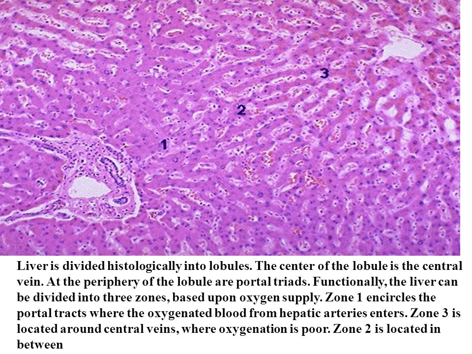 Liver is divided histologically into lobules. The center of the lobule is the central vein. At the periphery of the lobule are portal triads. Function