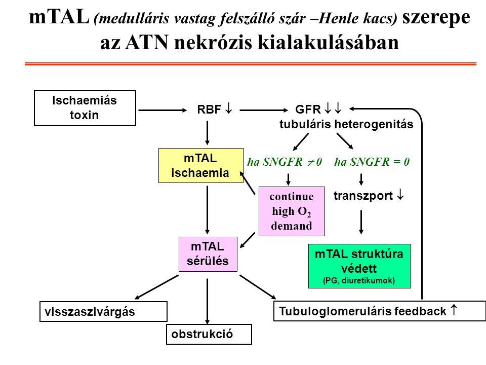 mTAL (medulláris vastag felszálló szár –Henle kacs) szerepe az ATN nekrózis kialakulásában Ischaemiás toxin RBF  GFR   tubuláris heterogenitás mTAL