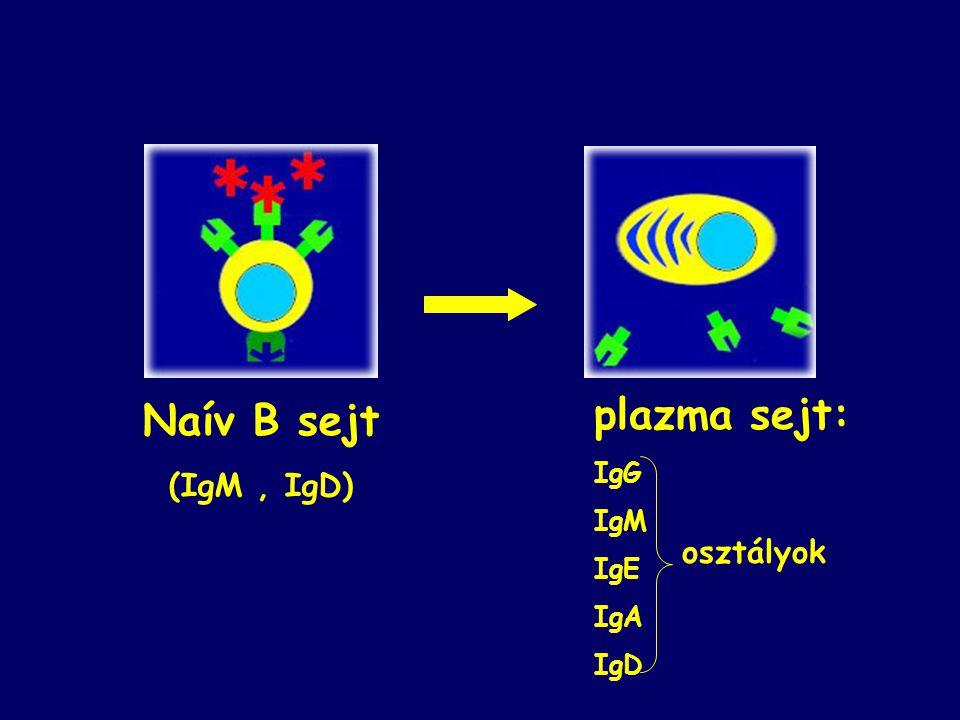 Naív B sejt (IgM, IgD) plazma sejt: IgG IgM IgE IgA IgD osztályok