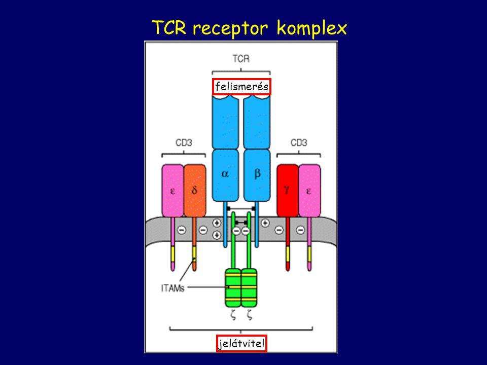 TCR receptor komplex felismerés jelátvitel