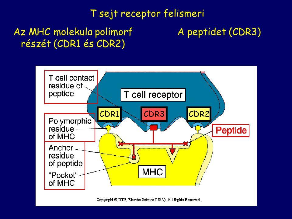 T sejt receptor felismeri A peptidet (CDR3)Az MHC molekula polimorf részét (CDR1 és CDR2) CDR1CDR2CDR3