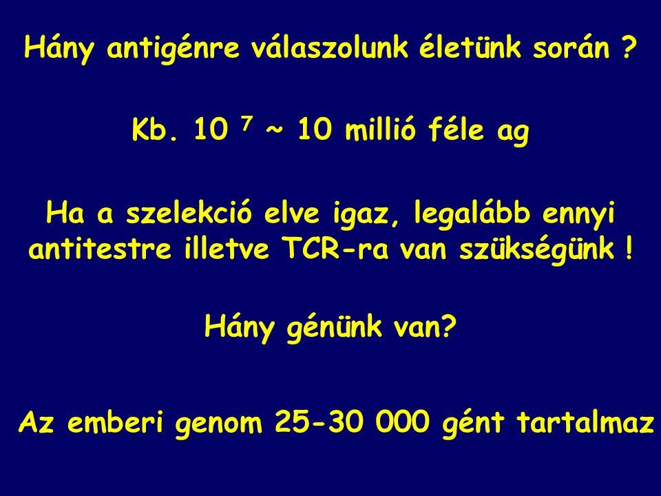 Kb. 10 7 ~ 10 millió féle ag Hány antigénre válaszolunk életünk során ? Ha a szelekció elve igaz, legalább ennyi antitestre illetve TCR-ra van szükség