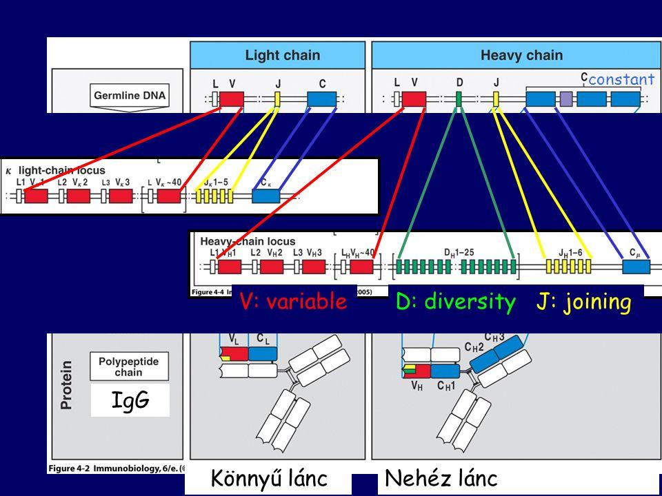 Könnyű láncNehéz lánc IgG V: variableD: diversityJ: joining constant