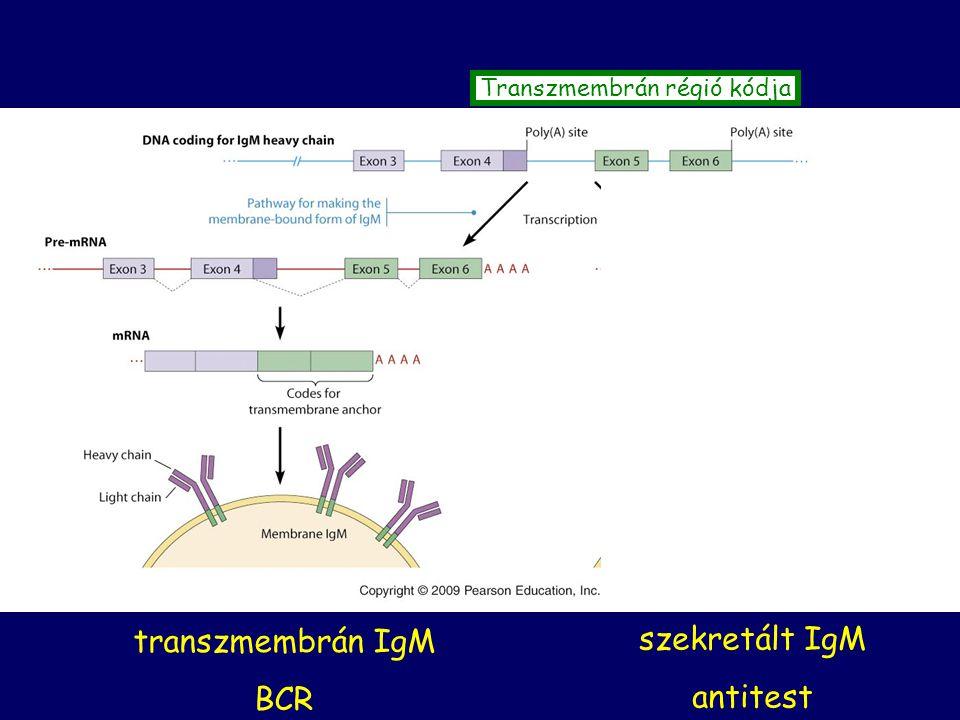 transzmembrán IgM BCR szekretált IgM antitest Transzmembrán régió kódja
