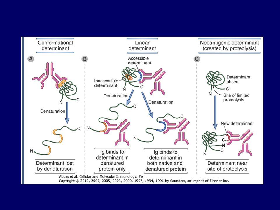 Tdt =Terminal deoxynucleotidyl transferase: További (max. 15) nukleotidot ad hozzá (N)