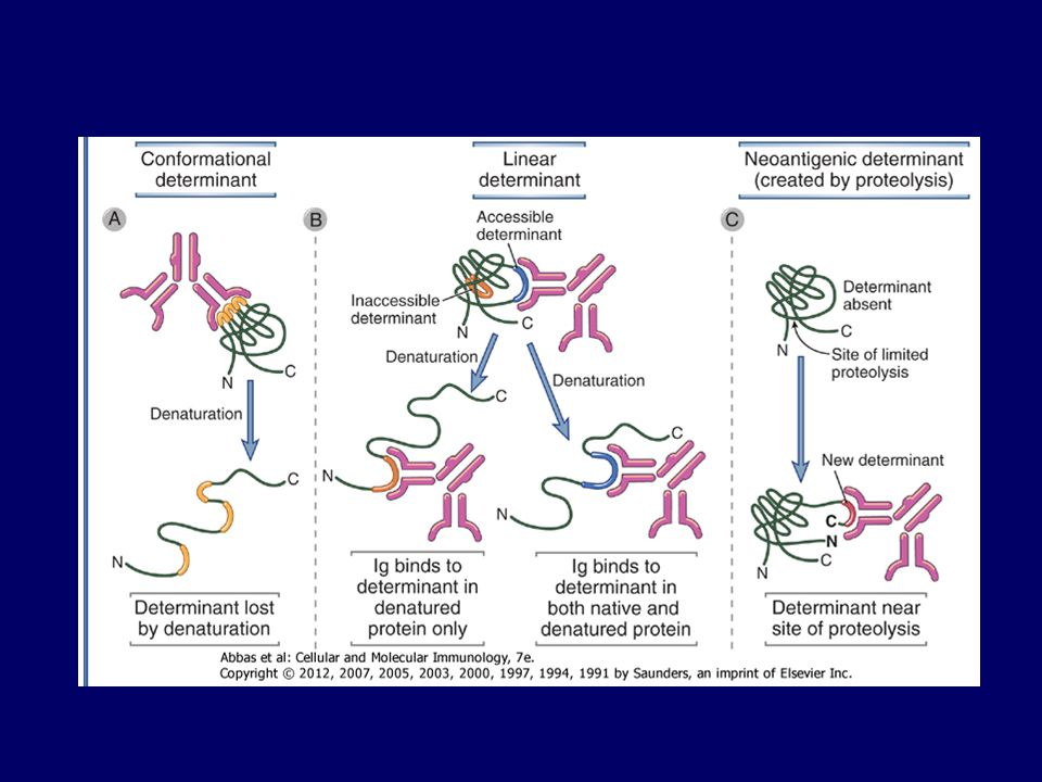 B sejt receptor: BCR B sejt antitest T sejt specificitás = antigénreceptorok T sejt receptor: TCR Plazma sejt