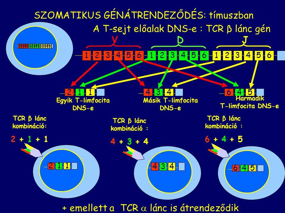SZOMATIKUS GÉNÁTRENDEZŐDÉS: tímuszban A T-sejt előalak DNS-e : TCR β lánc gén 123456123456123456 211 Egyik T-limfocita DNS-e 434 Másik T-limfocita DNS-e 645 Harmadik T-limfocita DNS-e 123456123456123456 434 645 211 TCR β lánc kombináció: 2 + 1 + 1 TCR β lánc kombináció : 4 + 3 + 4 TCR β lánc kombináció : 6 + 4 + 5 + emellett a TCR  lánc is átrendeződik V D J