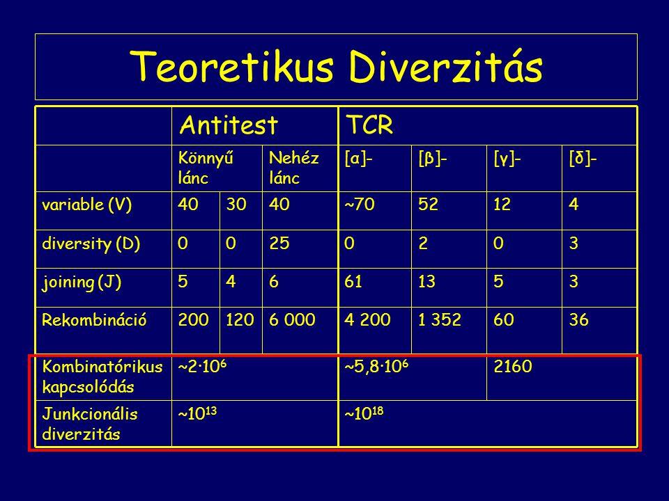 Teoretikus Diverzitás ~10 18 ~10 13 Junkcionális diverzitás 2160~5,8·10 6 ~2·10 6 Kombinatórikus kapcsolódás 36601 3524 2006 000120200Rekombináció 351361645joining (J) 30202500diversity (D) 41252~70403040variable (V) [δ]-[γ]-[β]-[α]- Nehéz lánc Könnyű lánc TCRAntitest