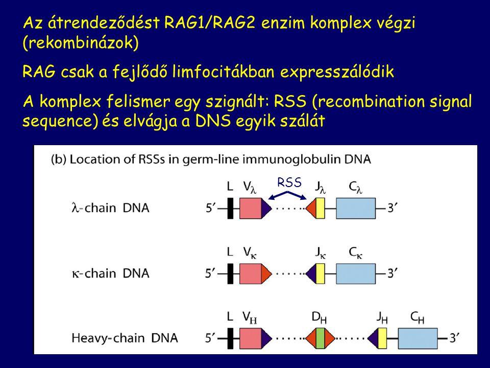 42 Az átrendeződést RAG1/RAG2 enzim komplex végzi (rekombinázok) RAG csak a fejlődő limfocitákban expresszálódik A komplex felismer egy szignált: RSS
