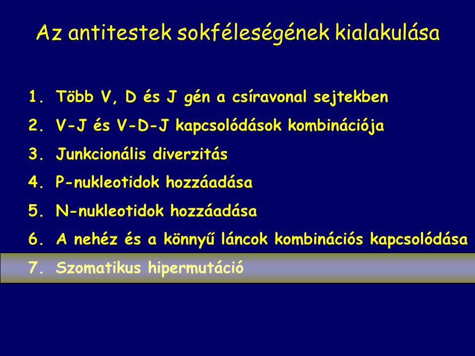 Az antitestek sokféleségének kialakulása 1.Több V, D és J gén a csíravonal sejtekben 2.V-J és V-D-J kapcsolódások kombinációja 3.Junkcionális diverzitás 4.P-nukleotidok hozzáadása 5.N-nukleotidok hozzáadása 6.A nehéz és a könnyű láncok kombinációs kapcsolódása 7.Szomatikus hipermutáció