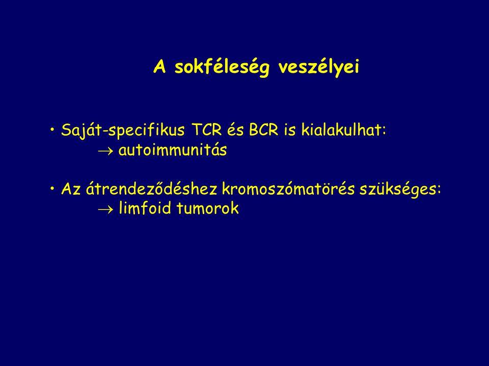 A sokféleség veszélyei Saját-specifikus TCR és BCR is kialakulhat:  autoimmunitás Az átrendeződéshez kromoszómatörés szükséges:  limfoid tumorok