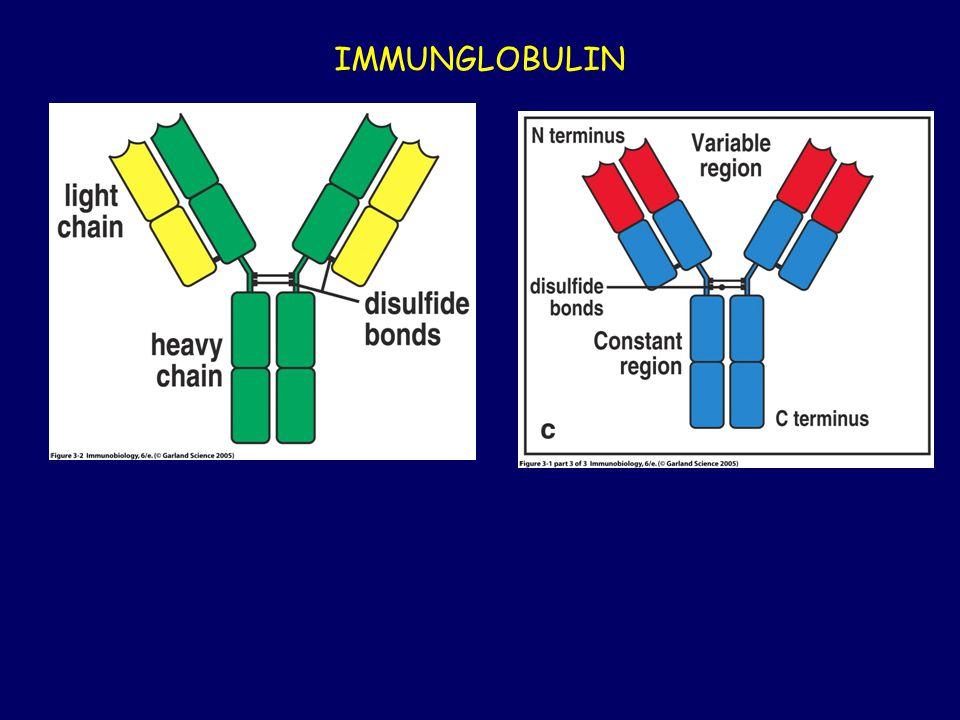 Az  β TCR méretben és szerkezetben is hasonló, mint az antitest Fab fragmentje