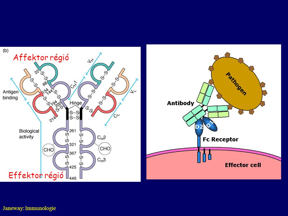 Janeway: Immunologie Effektor régió Affektor régió