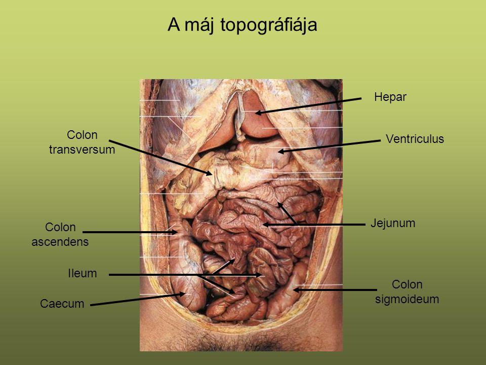 Jejunum Ileum Ventriculus Caecum Colon ascendens Colon transversum Colon sigmoideum A máj topográfiája Hepar