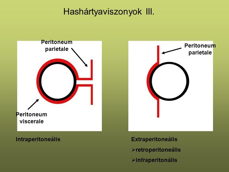 Hashártyaviszonyok III. IntraperitoneálisExtraperitoneális  retroperitoneális  infraperitonális Peritoneum parietale Peritoneum viscerale Peritoneum