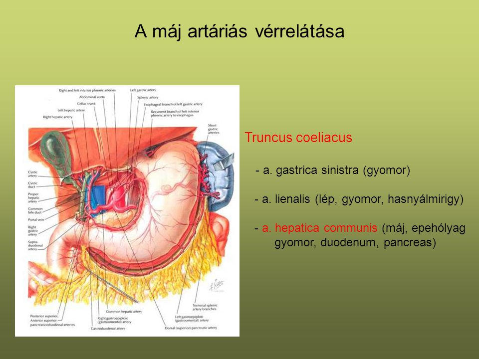 A máj artáriás vérrelátása Truncus coeliacus - a. gastrica sinistra (gyomor) - a. lienalis (lép, gyomor, hasnyálmirigy) - a. hepatica communis (máj, e