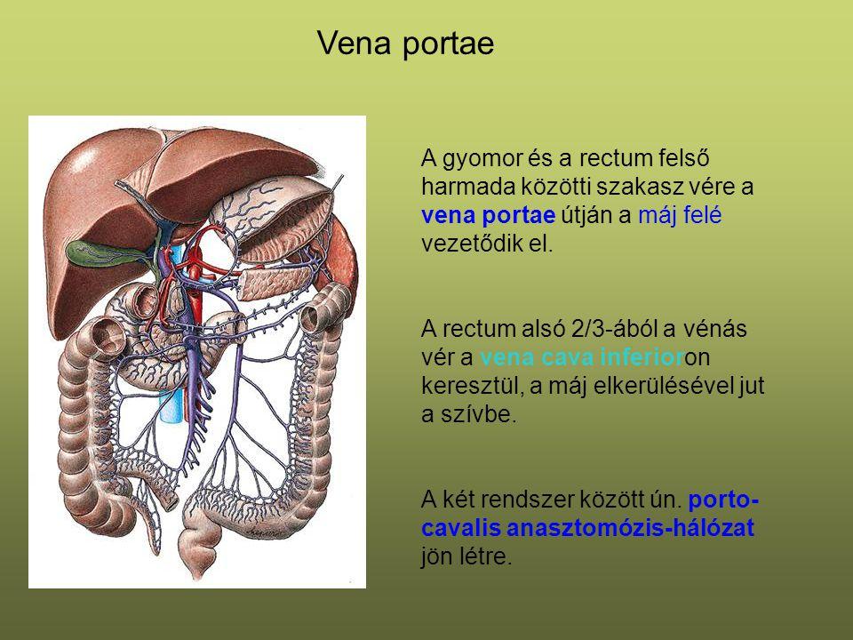 Vena portae A gyomor és a rectum felső harmada közötti szakasz vére a vena portae útján a máj felé vezetődik el. A rectum alsó 2/3-ából a vénás vér a