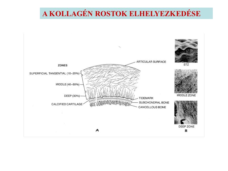 AZ IZÜLETI PORCOK ÖSSZETÉTELE ÉS SZERKEZETE 1. KOLLAGEN (rostos ultrastruktura, prokollagen polypeptid) 10- 30 % 2. PROTEOGLYCAN ( PG ) nagy feherje p