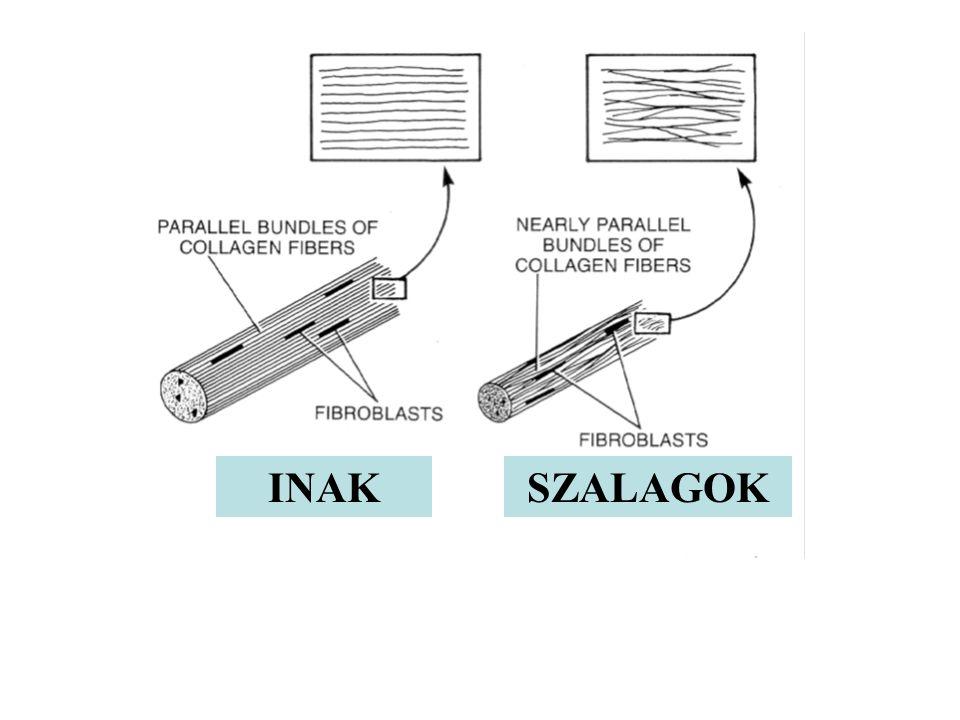 A kollagének mikrostruktúrája Az inak és szalagok I típusú kollagénekből állnak. Ez a molekula három polipeptide láncból (  lánc) formálódik, mindegy