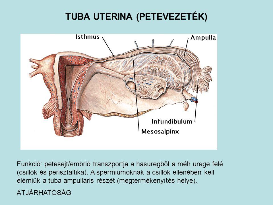 Infundibulum Isthmus Ampulla Mesosalpinx TUBA UTERINA (PETEVEZETÉK) Funkció: petesejt/embrió transzportja a hasüregből a méh ürege felé (csillók és pe