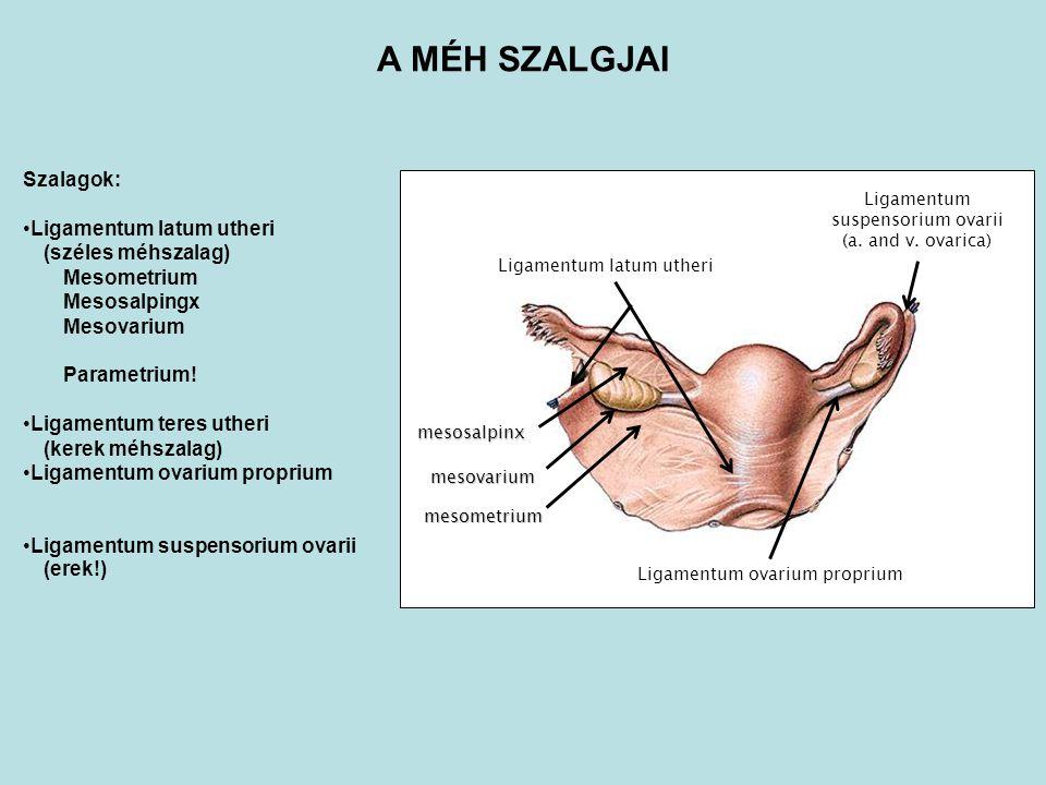 Szalagok: Ligamentum latum utheri (széles méhszalag) Mesometrium Mesosalpingx Mesovarium Parametrium! Ligamentum teres utheri (kerek méhszalag) Ligame