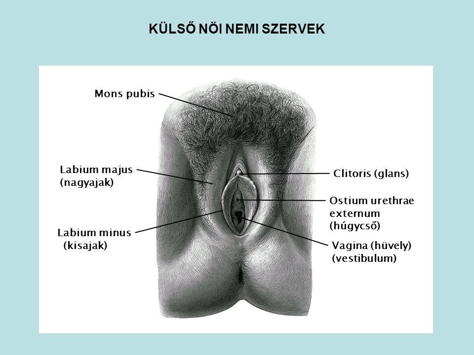 Ostium urethrae externum (húgycső) Mons pubis Vagina (hüvely) (vestibulum) Clitoris (glans) Labium majus (nagyajak) Labium minus (kisajak) KÜLSŐ NÖI N