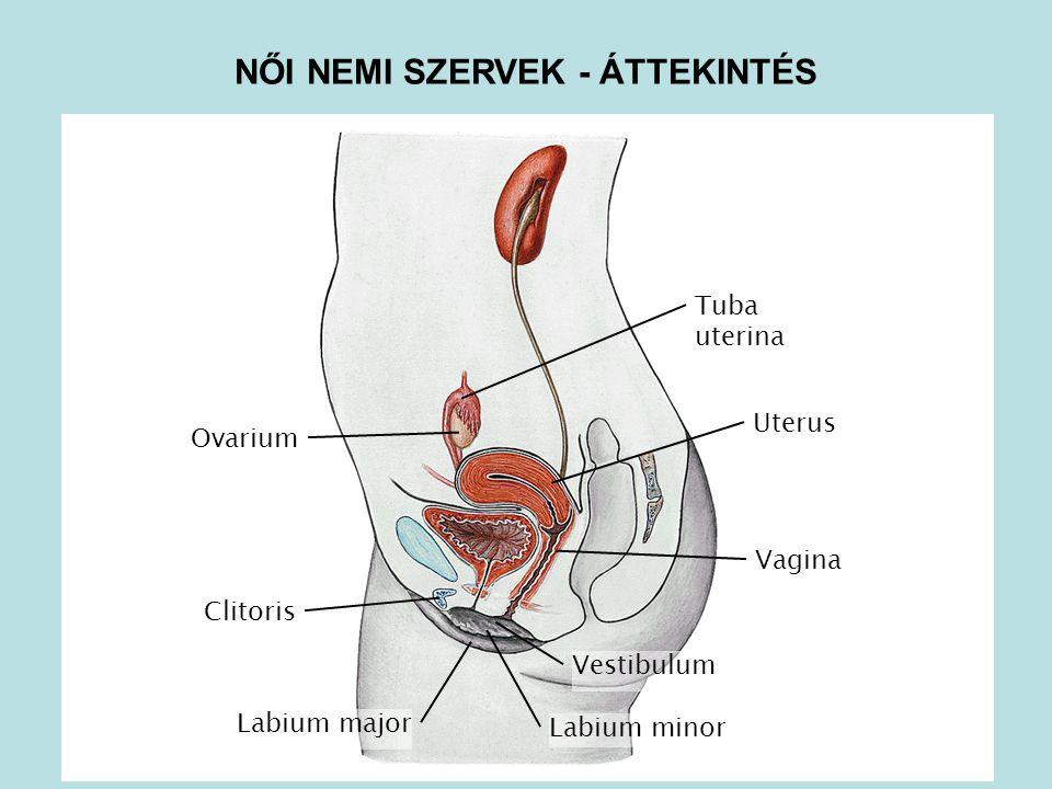 Tuba uterina Clitoris Vagina Uterus Ovarium Labium minor Labium major Vestibulum NŐI NEMI SZERVEK - ÁTTEKINTÉS