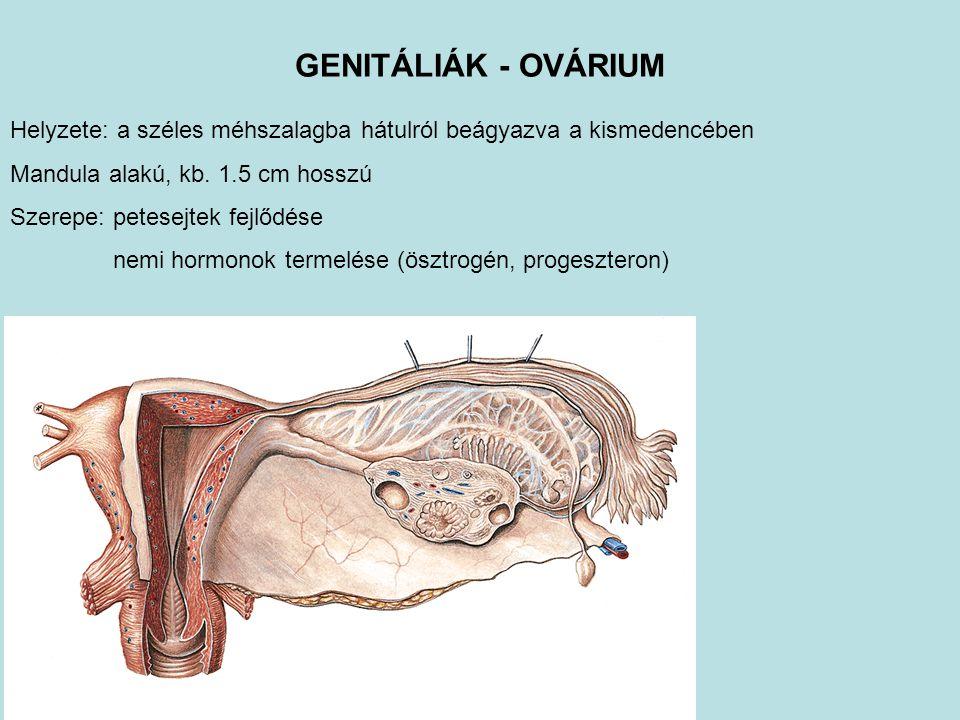 GENITÁLIÁK - OVÁRIUM Helyzete: a széles méhszalagba hátulról beágyazva a kismedencében Mandula alakú, kb. 1.5 cm hosszú Szerepe: petesejtek fejlődése
