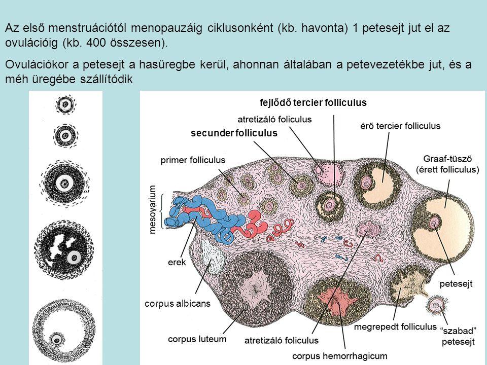 corpus albicans Az első menstruációtól menopauzáig ciklusonként (kb. havonta) 1 petesejt jut el az ovulációig (kb. 400 összesen). Ovulációkor a petese