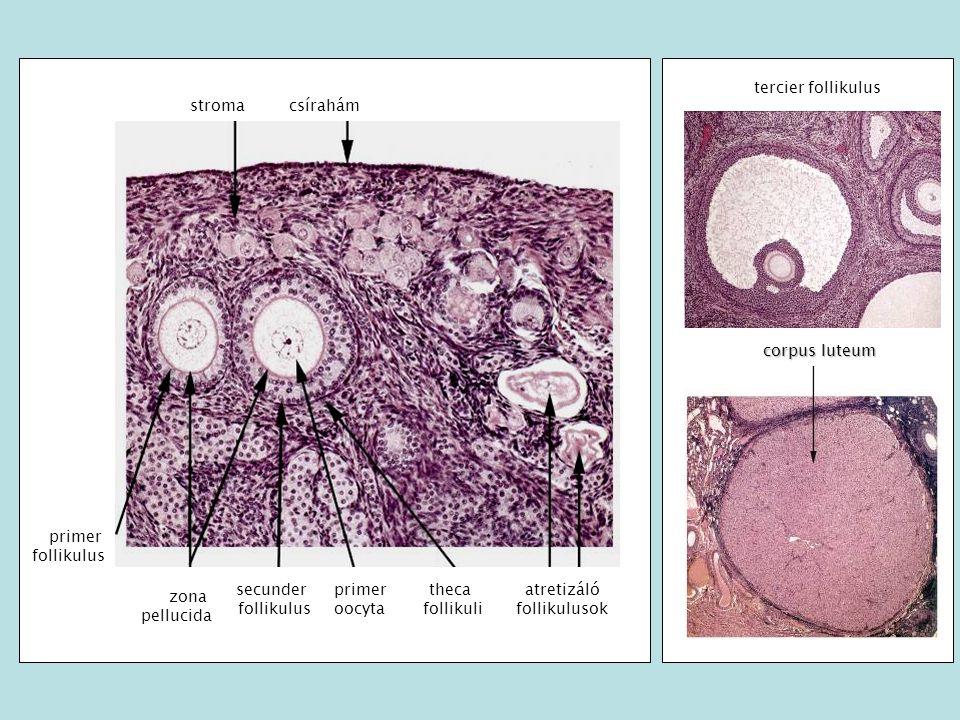 Infundibulum Isthmus Ampulla Mesosalpinx TUBA UTERINA (PETEVEZETÉK) Funkció: petesejt/embrió transzportja a hasüregből a méh ürege felé (csillók és perisztaltika).