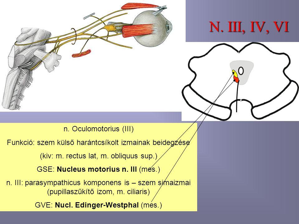 N. III, IV, VI n. Oculomotorius (III) Funkció: szem külső harántcsíkolt izmainak beidegzése (kiv: m. rectus lat, m. obliquus sup.) GSE: Nucleus motori