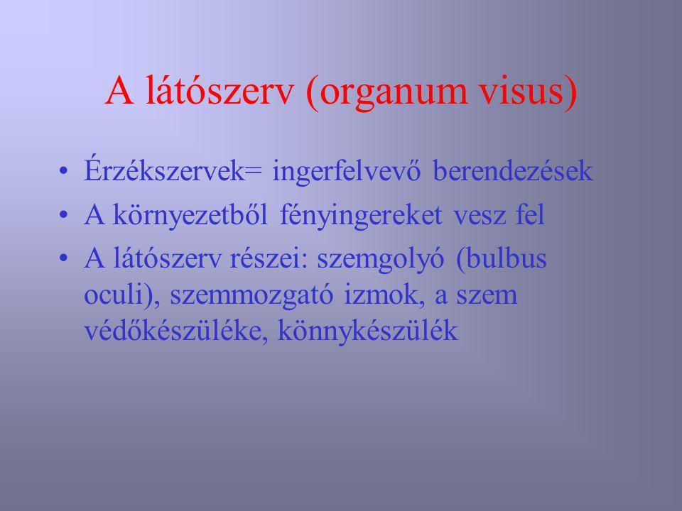 A látószerv (organum visus) Érzékszervek= ingerfelvevő berendezések A környezetből fényingereket vesz fel A látószerv részei: szemgolyó (bulbus oculi)