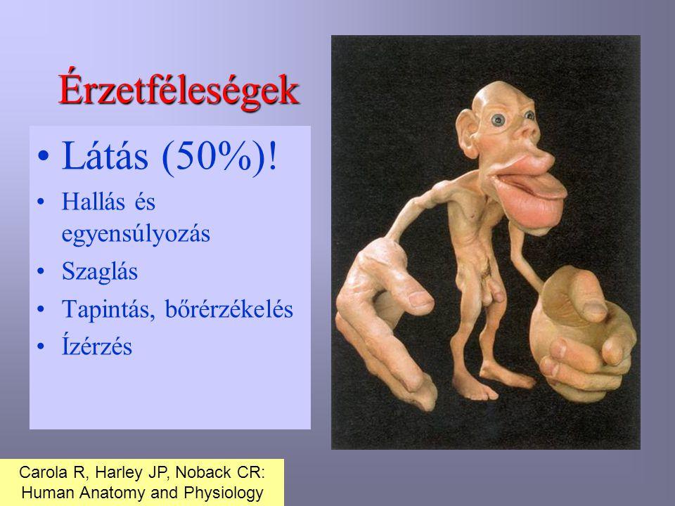 Érzetféleségek Látás (50%)! Hallás és egyensúlyozás Szaglás Tapintás, bőrérzékelés Ízérzés Carola R, Harley JP, Noback CR: Human Anatomy and Physiolog