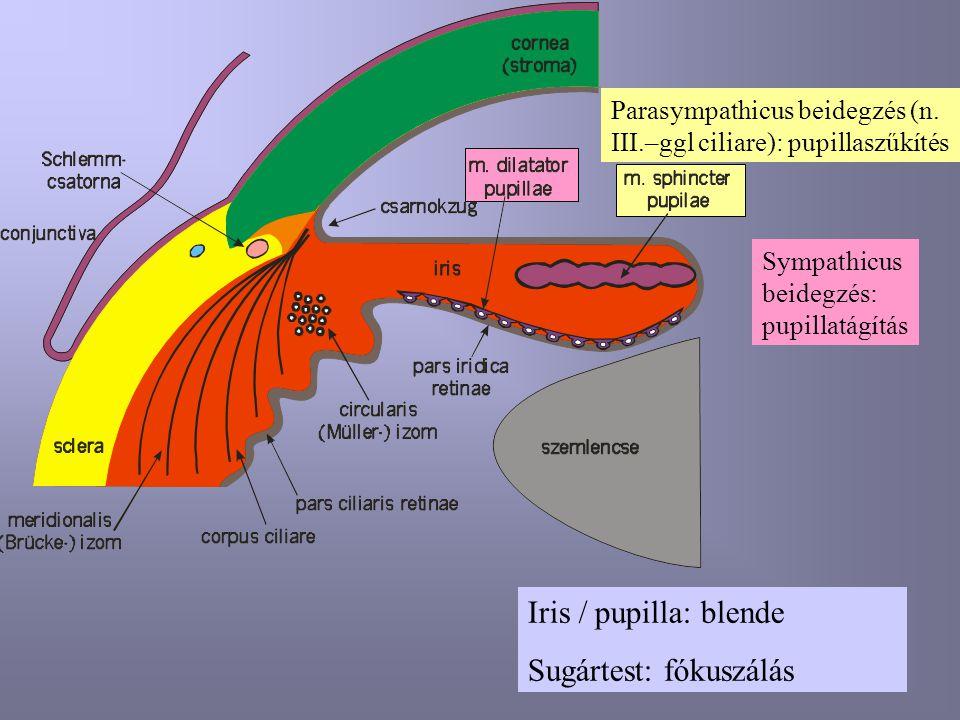 Iris / pupilla: blende Sugártest: fókuszálás Parasympathicus beidegzés (n. III.–ggl ciliare): pupillaszűkítés Sympathicus beidegzés: pupillatágítás