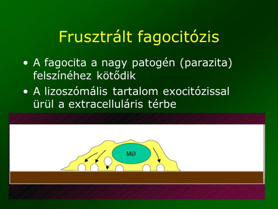 31 Frusztrált fagocitózis A fagocita a nagy patogén (parazita) felszínéhez kötődik A lizoszómális tartalom exocitózissal ürül a extracelluláris térbe