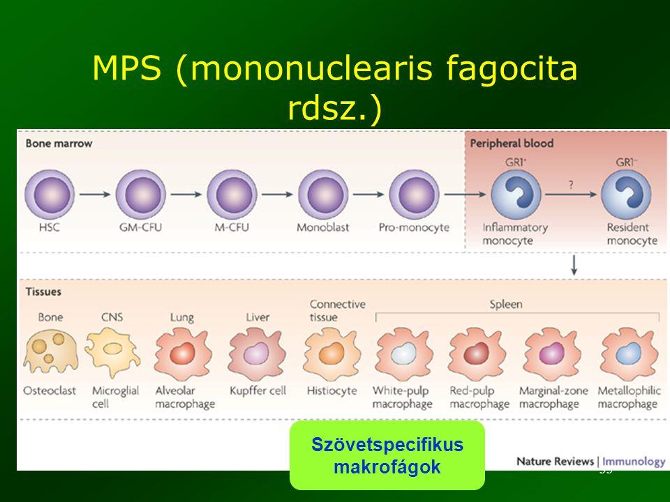 33 Szövetspecifikus makrofágok MPS (mononuclearis fagocita rdsz.)