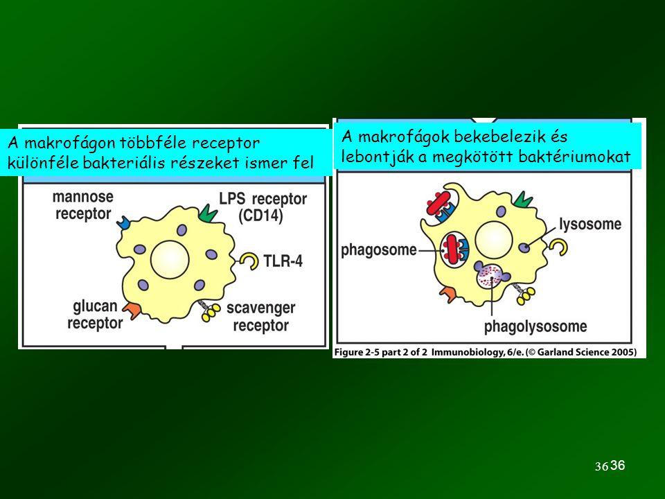 36 A makrofágok bekebelezik és lebontják a megkötött baktériumokat A makrofágon többféle receptor különféle bakteriális részeket ismer fel
