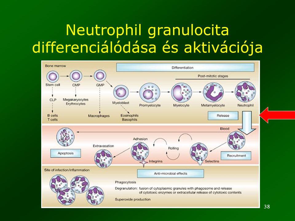 38 Neutrophil granulocita differenciálódása és aktivációja