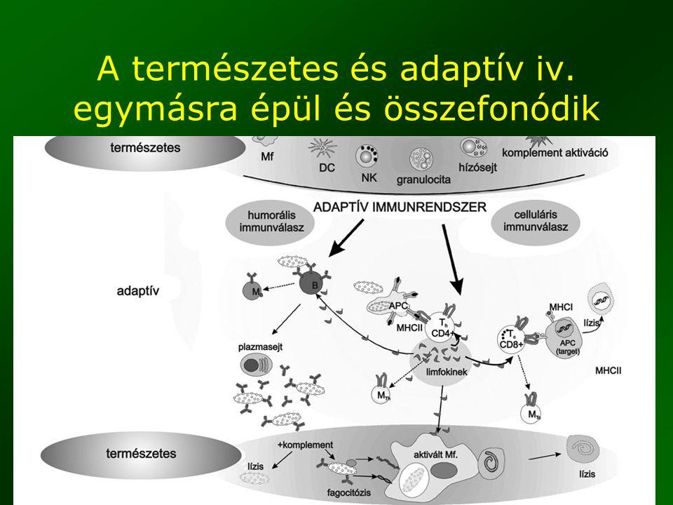 4 A természetes és adaptív iv. egymásra épül és összefonódik