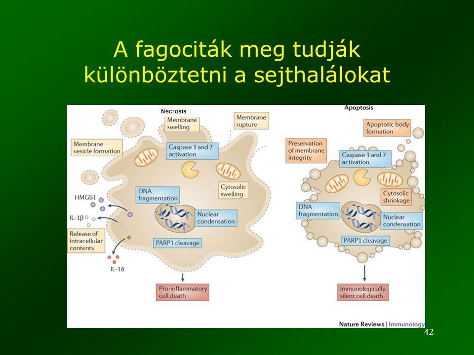 42 A fagociták meg tudják különböztetni a sejthalálokat Necrosis