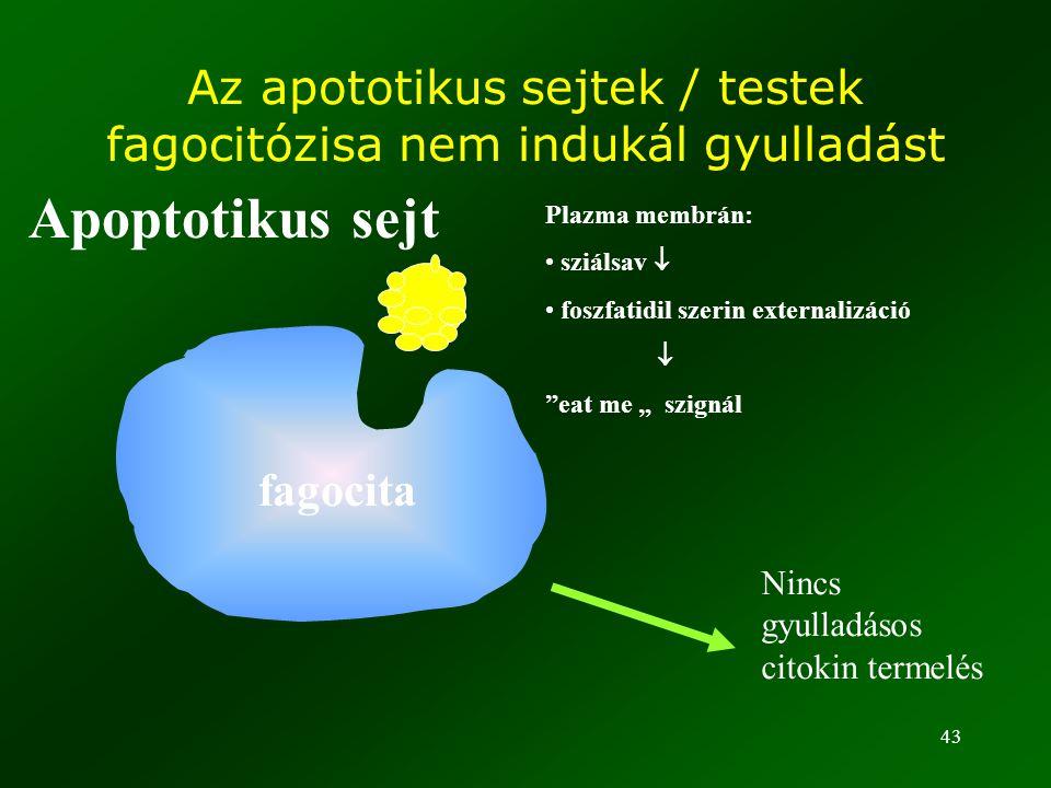 """43 Az apototikus sejtek / testek fagocitózisa nem indukál gyulladást Plazma membrán: sziálsav  foszfatidil szerin externalizáció  """"eat me """" szignál"""