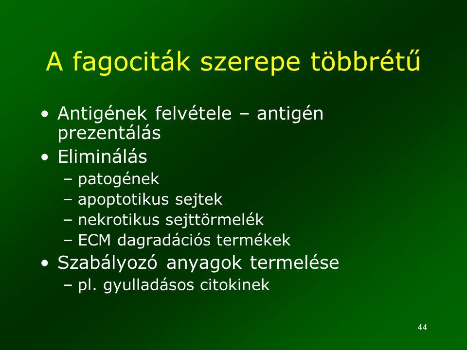 44 A fagociták szerepe többrétű Antigének felvétele – antigén prezentálás Eliminálás –patogének –apoptotikus sejtek –nekrotikus sejttörmelék –ECM dagr