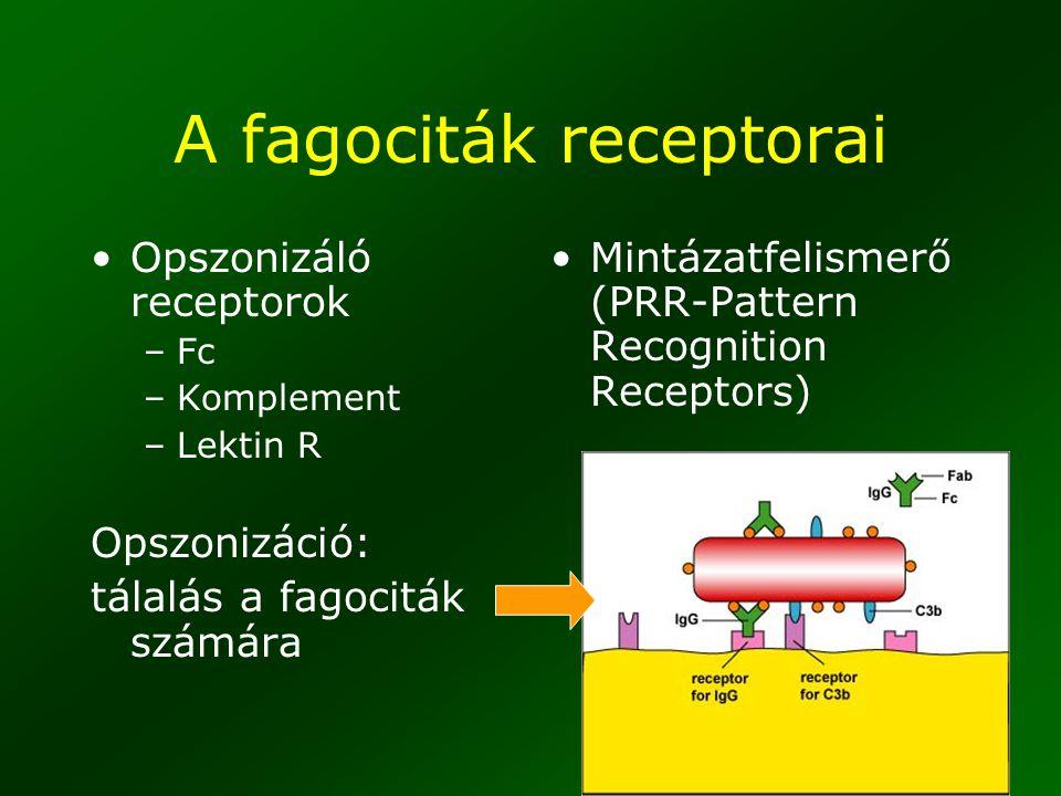 47 A fagociták receptorai Opszonizáló receptorok –Fc –Komplement –Lektin R Opszonizáció: tálalás a fagociták számára Mintázatfelismerő (PRR-Pattern Re