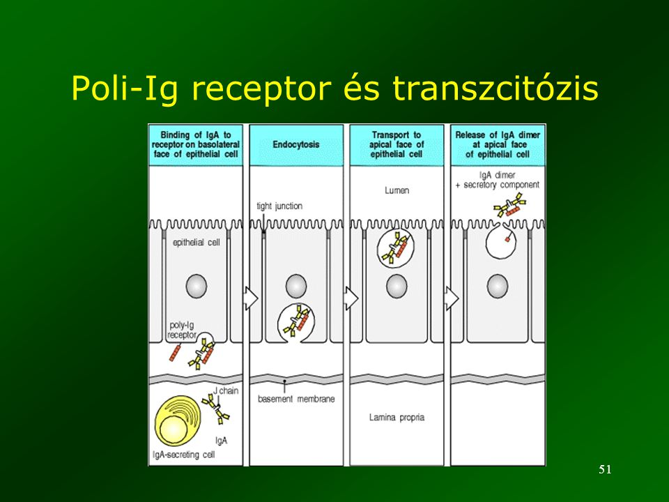 51 Poli-Ig receptor és transzcitózis
