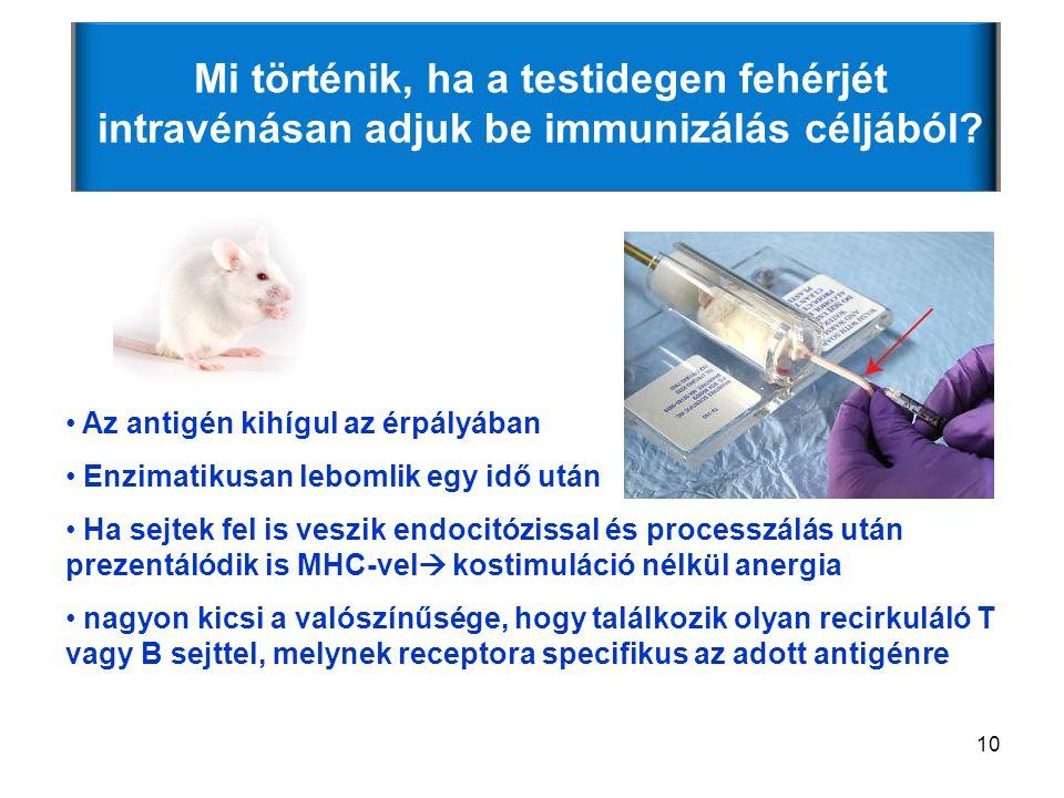 10 Mi történik, ha a testidegen fehérjét intravénásan adjuk be immunizálás céljából.