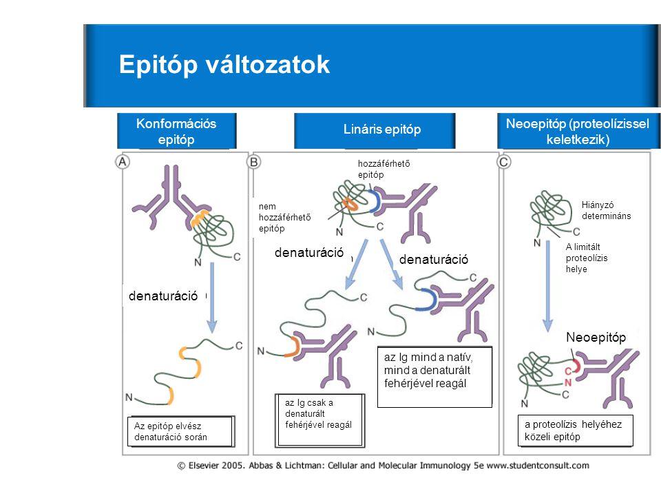 5 Epitóp változatok Konformációs epitóp Lináris epitóp Neoepitóp (proteolízissel keletkezik) denaturáció Neoepitóp nem hozzáférhető epitóp hozzáférhető epitóp Az epitóp elvész denaturáció során az Ig csak a denaturált fehérjével reagál az Ig mind a natív, mind a denaturált fehérjével reagál a proteolízis helyéhez közeli epitóp A limitált proteolízis helye Hiányzó determináns