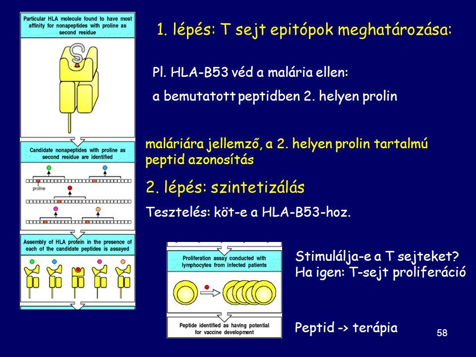59 A vakcina hatékonyságának fokozása az aminósav szekvencia módosításával peptid-MHC komplex kötődés affinitásának növelése TCR MHC Nem HLA-B53