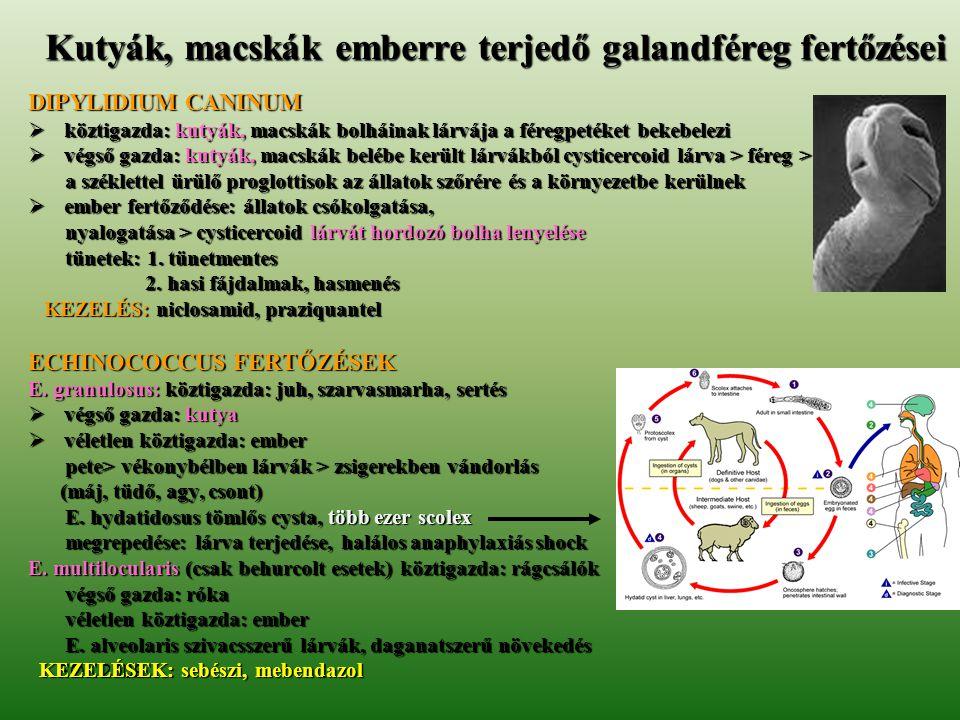 FOK 2009 Kutyák, macskák emberre terjedő galandféreg fertőzései DIPYLIDIUM CANINUM  köztigazda: kutyák, macskák bolháinak lárvája a féregpetéket beke